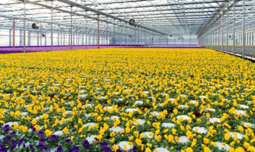Krevende tider for norsk blomsterproduksjon